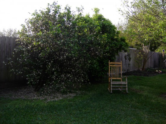 Meyer Lemon Tree covered with blooms
