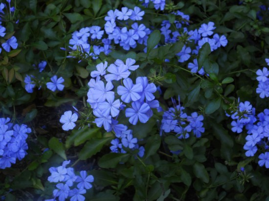 Plumbago revived by recent rain.