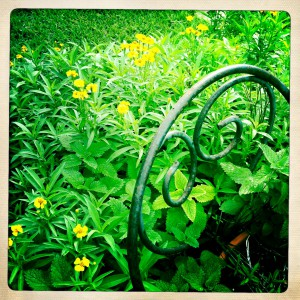 Mexican Mint Marigold and Lemon Balm